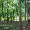 ゴムの木 農園